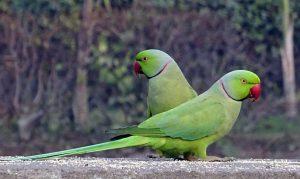 pappagalli verdi madrid